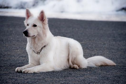 Сонник Белая собака. К чему снится Белая собака