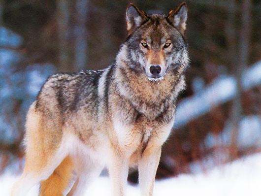 Сонник Волк. К чему снится Волк