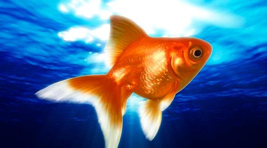 Сонник – Золотая рыбка, значение сна